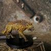 hyène.jpg