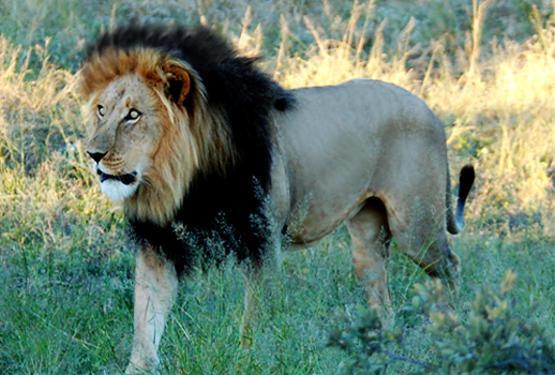 ethiopian-black-mane-lion.thumb.jpg.7c9935ee3e747f89ef9bd917d318c2bd.jpg